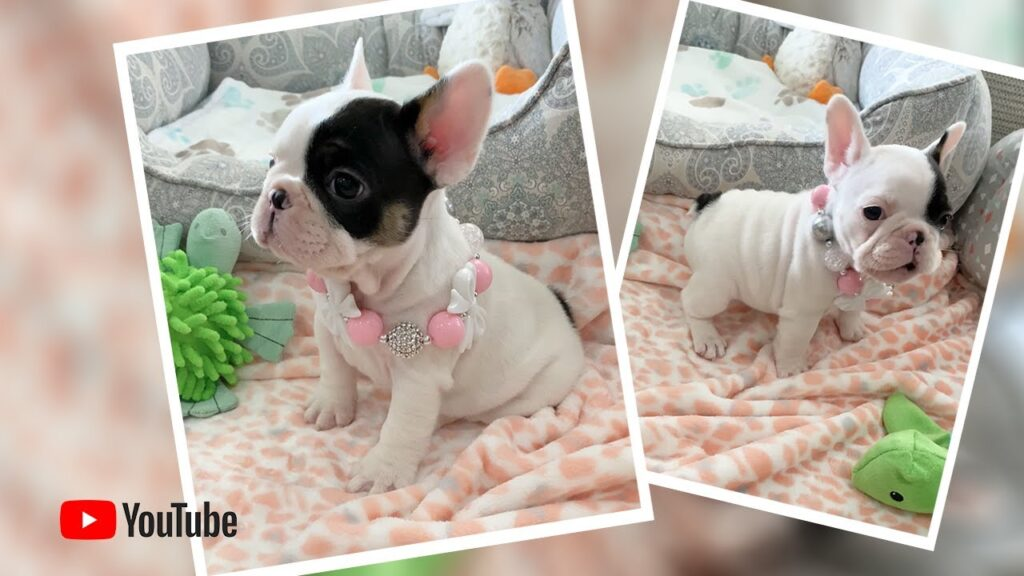 """""""🐶💖 When Frenchie puppies 🐶 don't get their way 😂"""" Poetic French Bulldog Puppies 🏝 Miami Beach"""