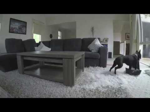 French Bulldog Scatters Pillow Feathers around Living Room