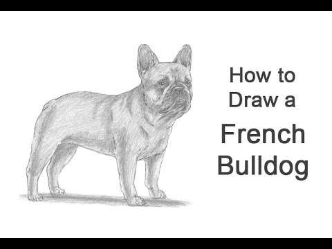 How to Draw a Dog (French Bulldog)