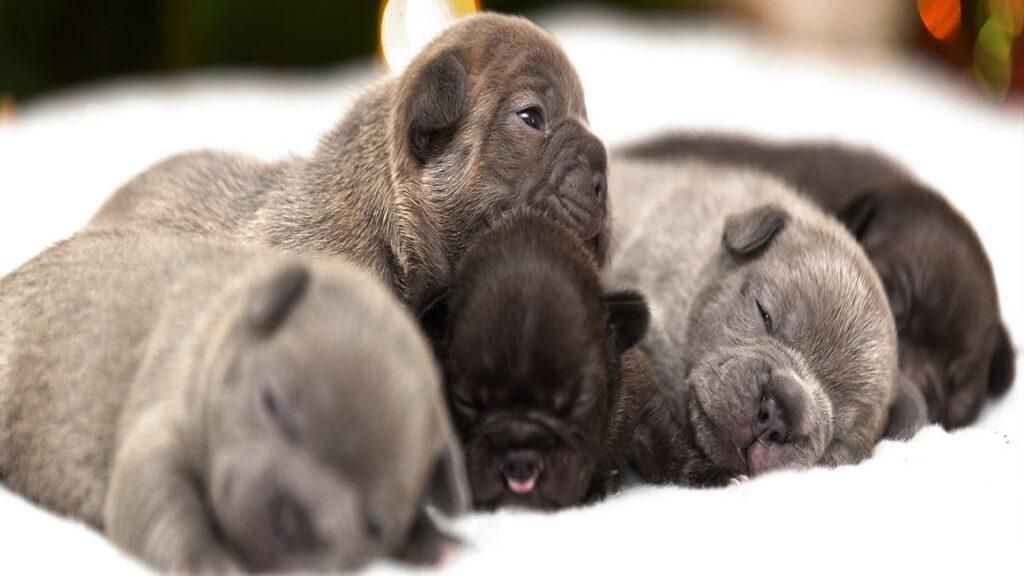 Adorable French Bulldog Puppies on Christmas Morning