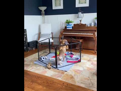 Dog want to leave baby sitting job – French bulldog