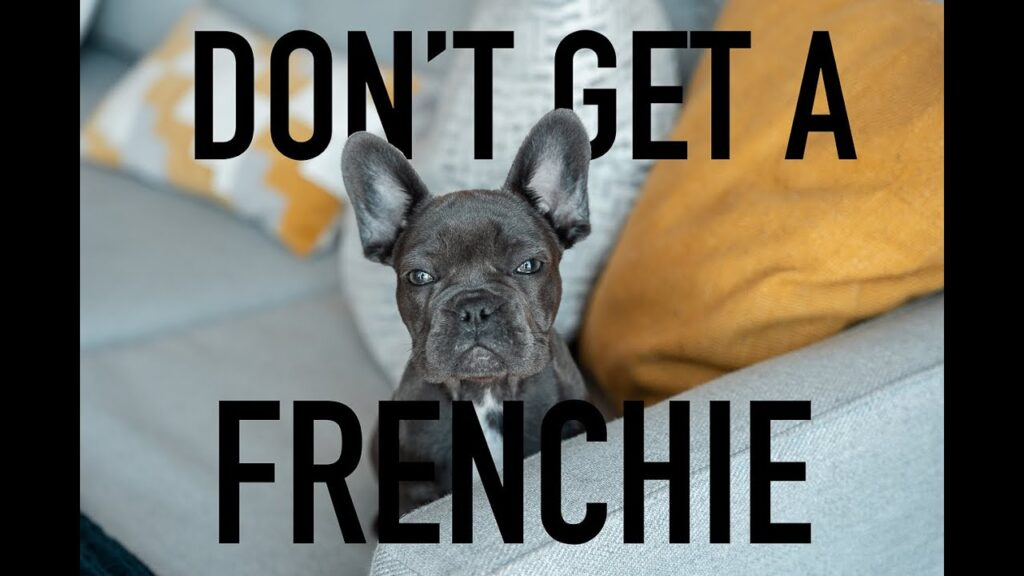 Don't Buy A French Bulldog | Problems with French Bulldogs | Before You Own A French Bulldog