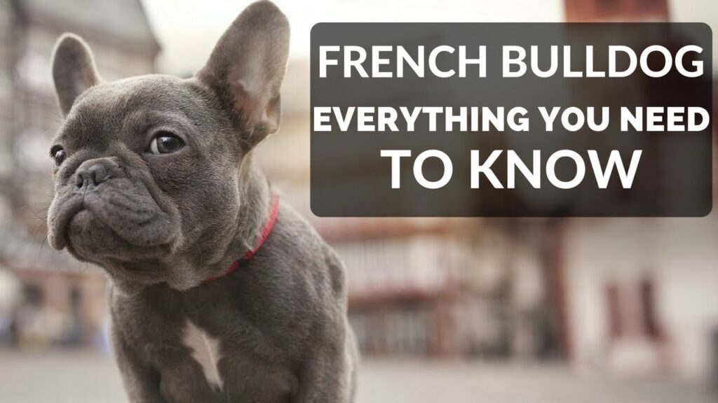 FRENCH BULLDOG 101 – Everything You Need To Know About Owning A French Bull Dog Puppy