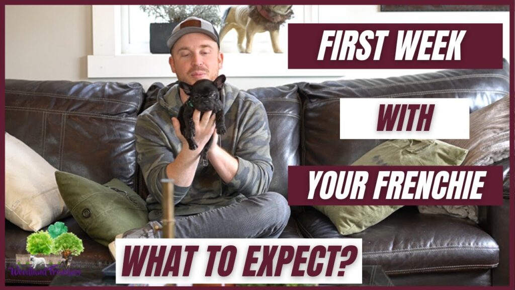 First Week with Your New French Bulldog: What to Expect? [French Bulldog Tips]