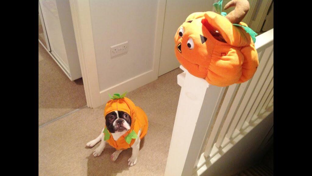 French Bulldog Halloween Movie