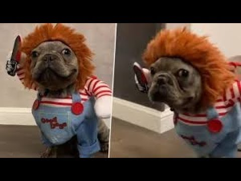 French Bulldog Hallowen costumes – most funny frenchies compilation 2019