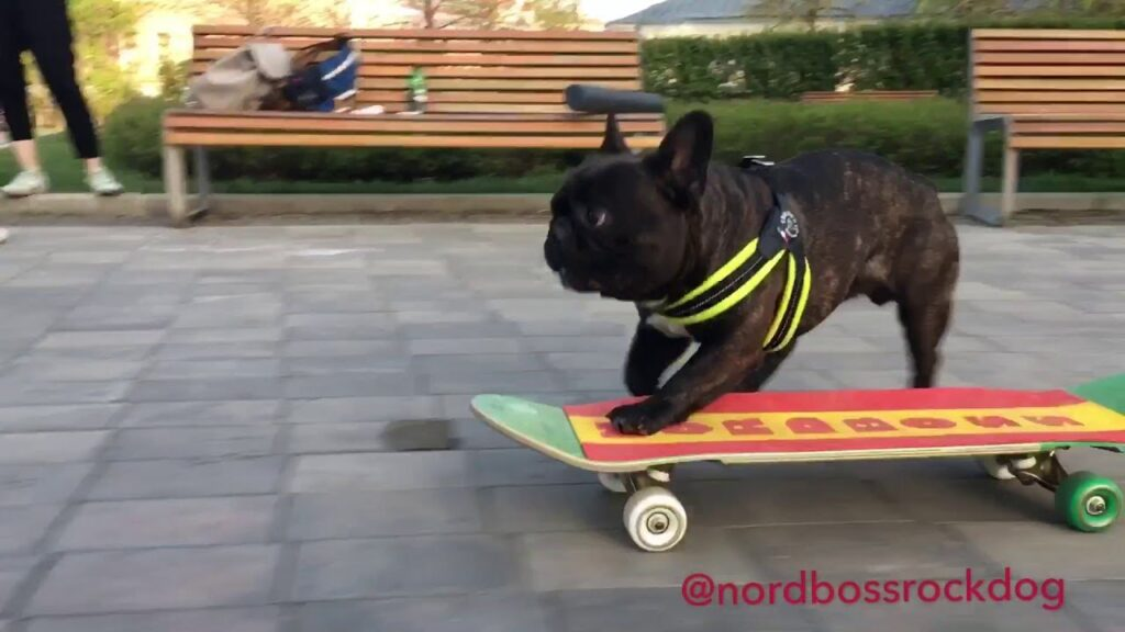 French Bulldog Skateboard like a boss – talented frenchie taking his girlfriend for a ride