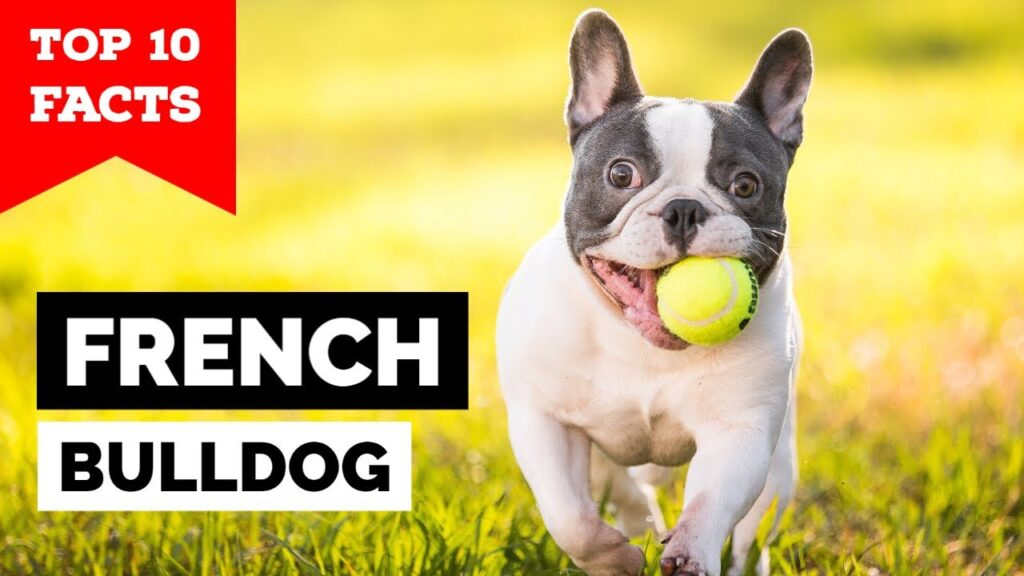 French Bulldog – Top 10 Facts