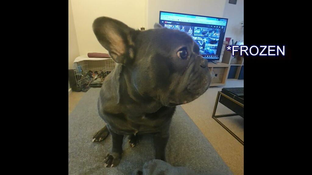 French Bulldog a Frozen Statue