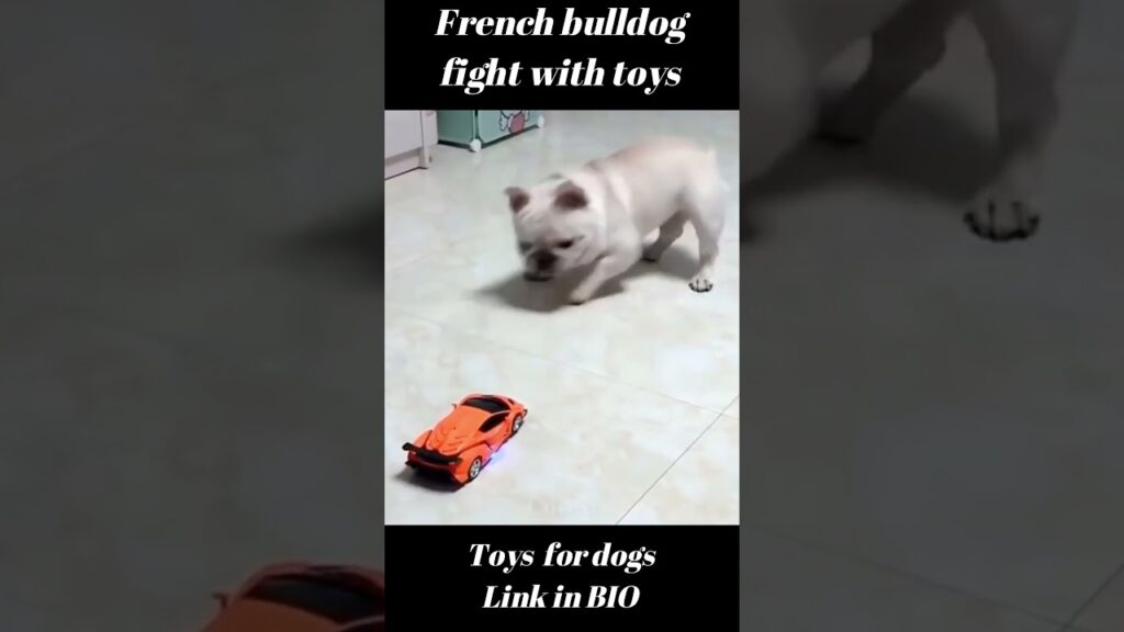 French Bulldog fighting with toys 😂