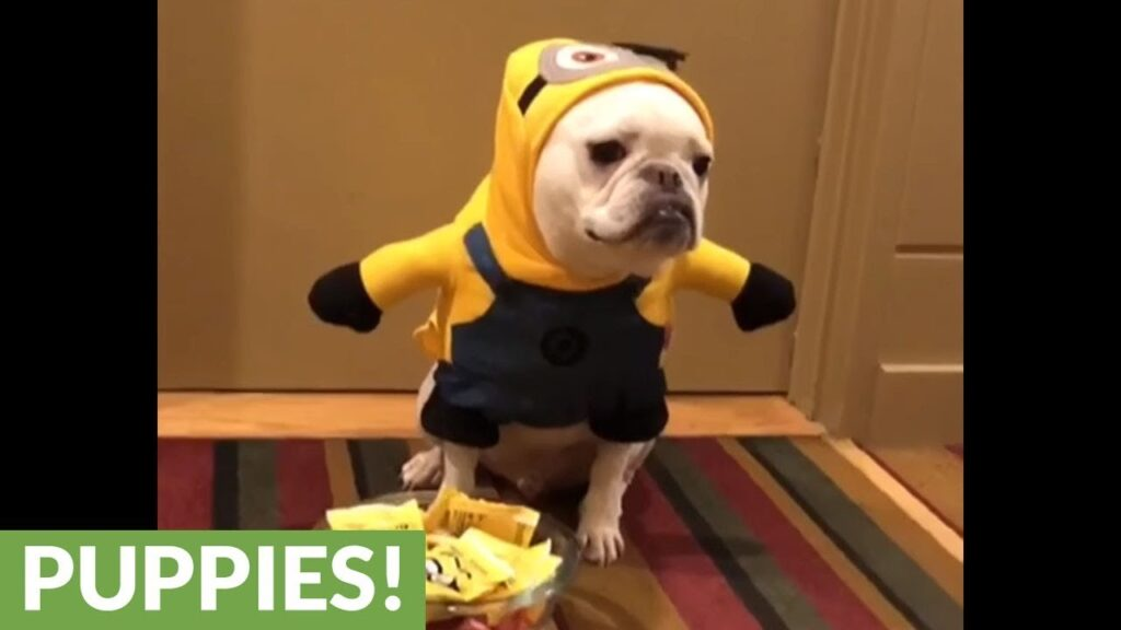 French Bulldog loves to hand out Halloween candy
