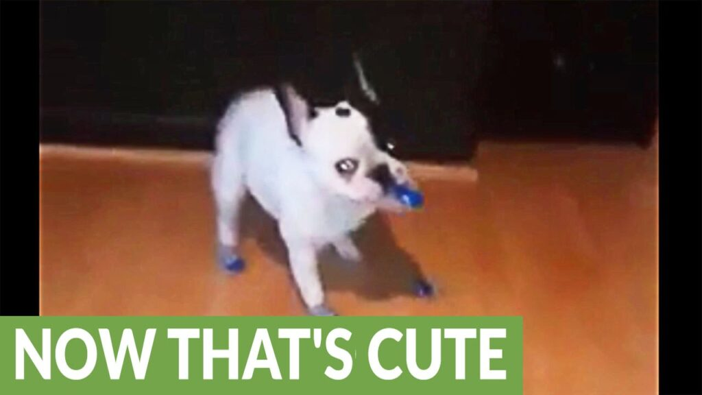 French Bulldog puppy not a fan of new winter socks