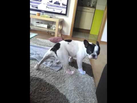 French Bulldog with Socks
