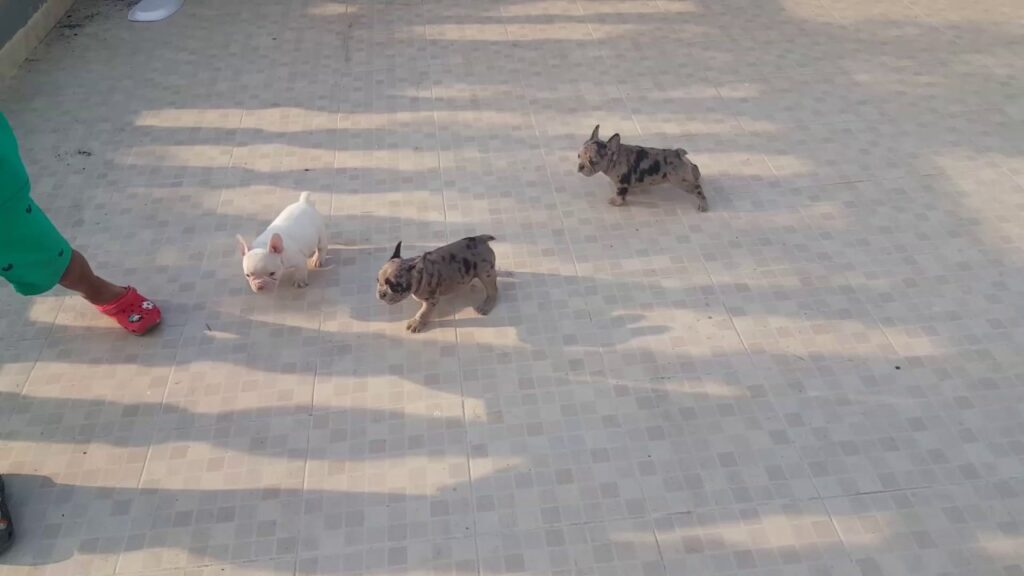 French bulldogs merle carrier blue , available whatsapp +573012181964