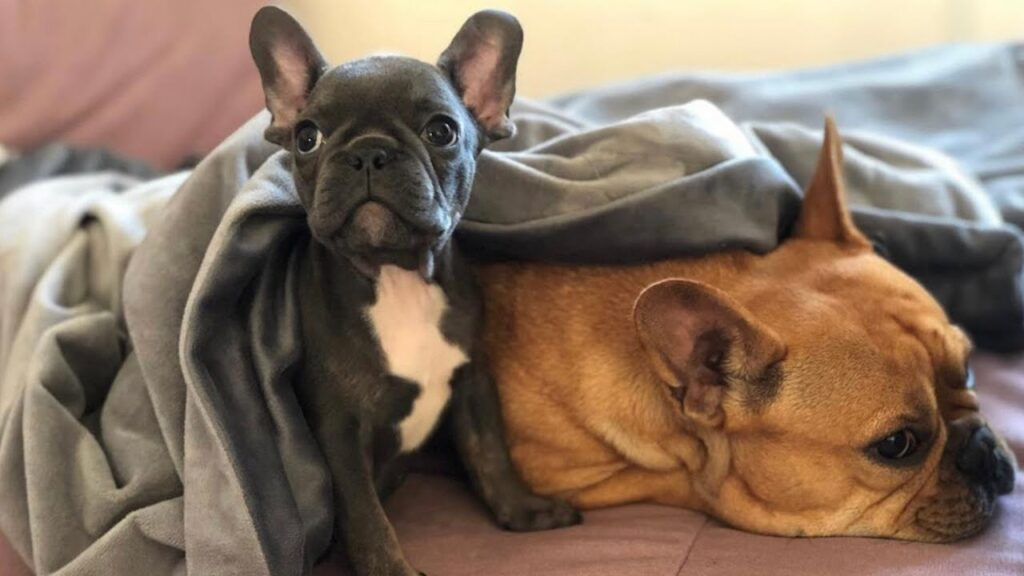Frenchie Gets A New Frenchie