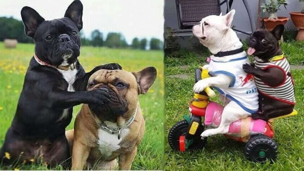 Funny and Cute French Bulldog Puppies Compilation #4 – Cutest French Bulldog