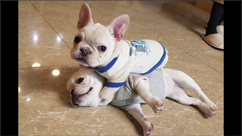 Funny and Cute French Bulldog Puppies Compilation #6 – Cutest French Bulldog