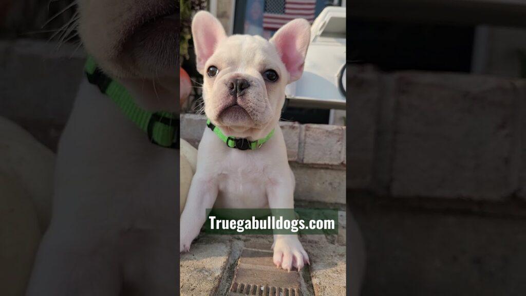 GCHG sired AKC French Bulldog puppy Green collar