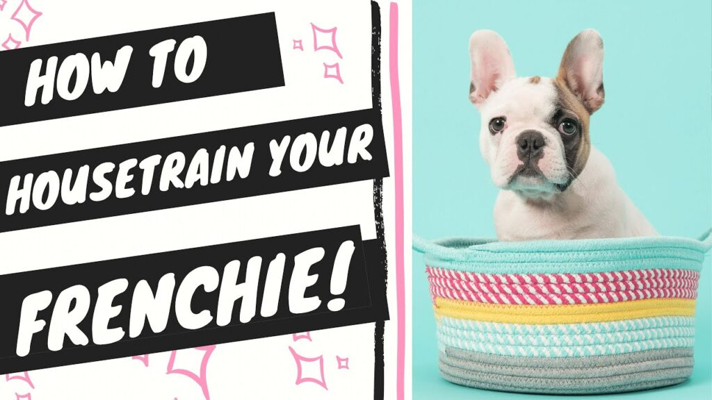 House train french bulldog (step-by-step potty training instructions)