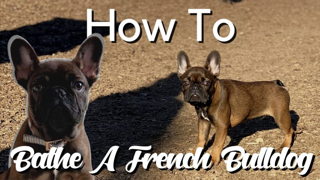 How To Bathe A French Bulldog Puppy + BATHING PRODUCTS