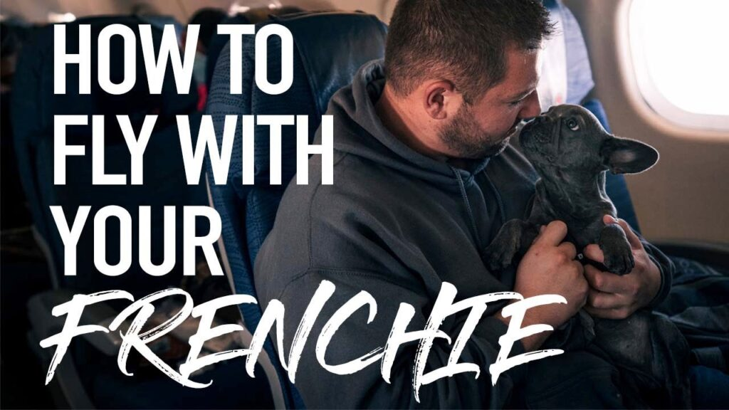How To Fly With A Dog   French Bulldog   Delivering A Frenchie To Her New Owners