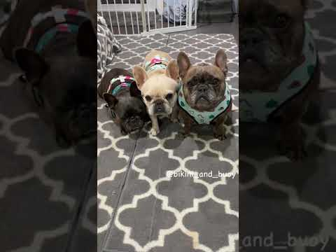 How to reverse frenchie bulldog harness