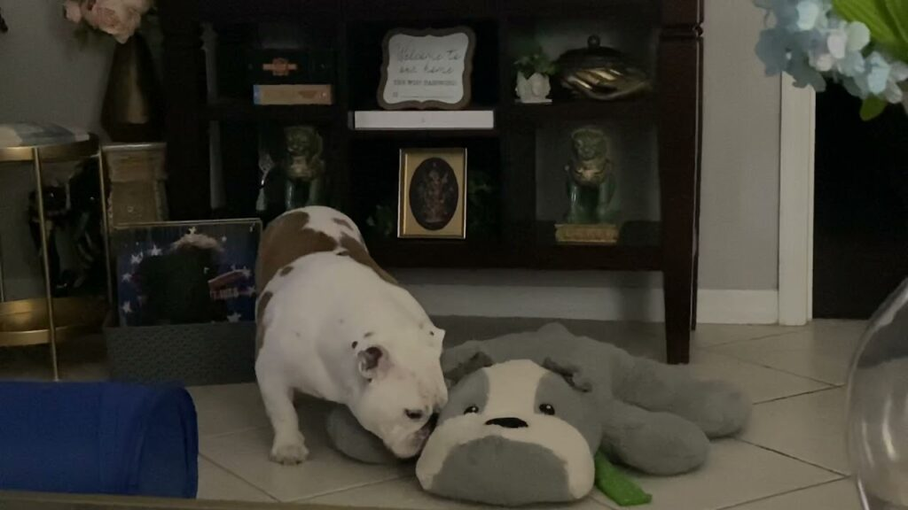 Lilly and her Bulldog pillow