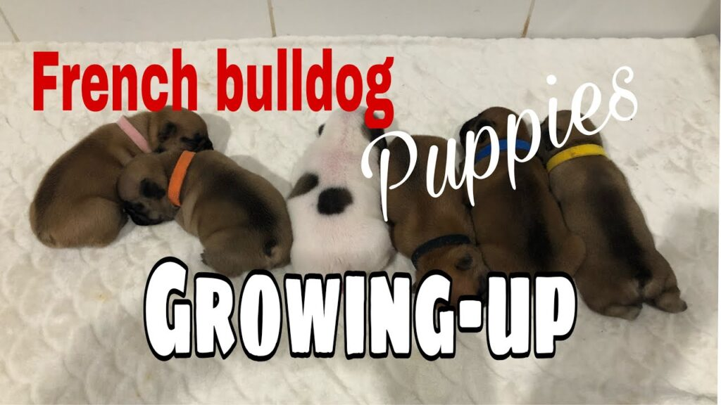 Part 1 | How does the French Bulldog puppy growing | day 1 to 6 mos old.
