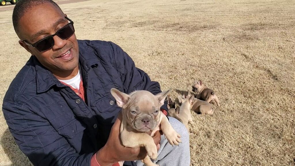 Quad carrier French bulldog puppies (Lilac)