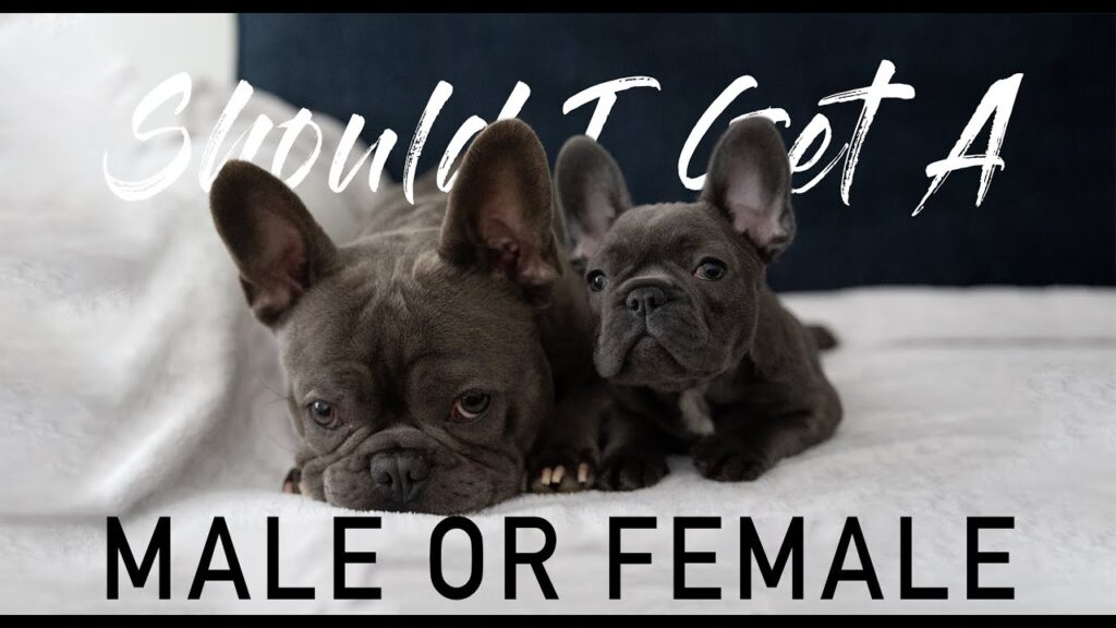 Should I get a MALE or FEMALE PUPPY French Bulldog Gender Differences
