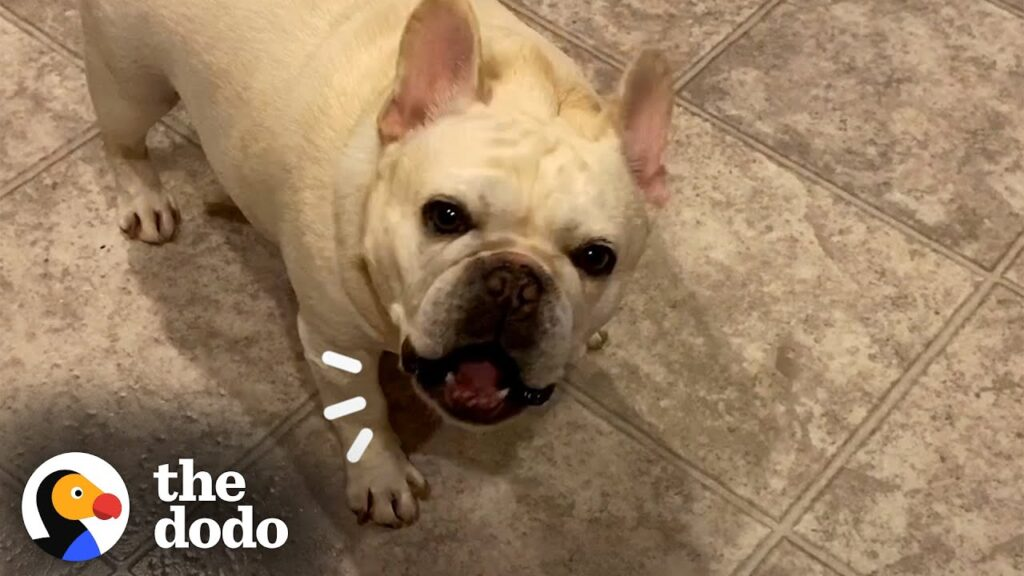 Stubborn Frenchie Hilariously Argues With Mom For 3 Hours Over Dinner | The Dodo