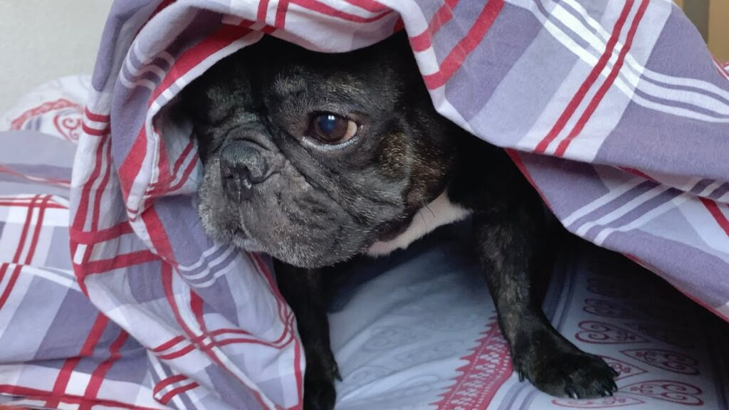 This French Bulldog likes to sleep under a blanket