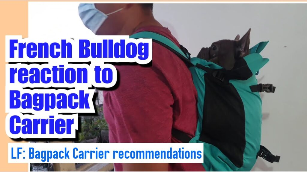 Vulkan tries the Bagpack Dog Carrier | French Bulldog Philippines
