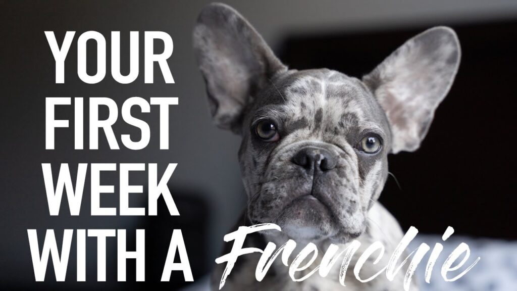 Your First Week With A Frenchie | French Bulldog | Introducing DONUT