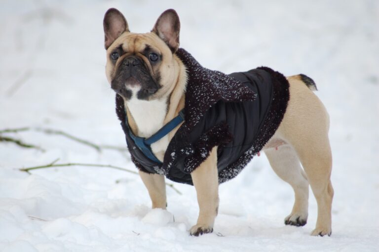 french bulldog with winter vest ready to play in the snow