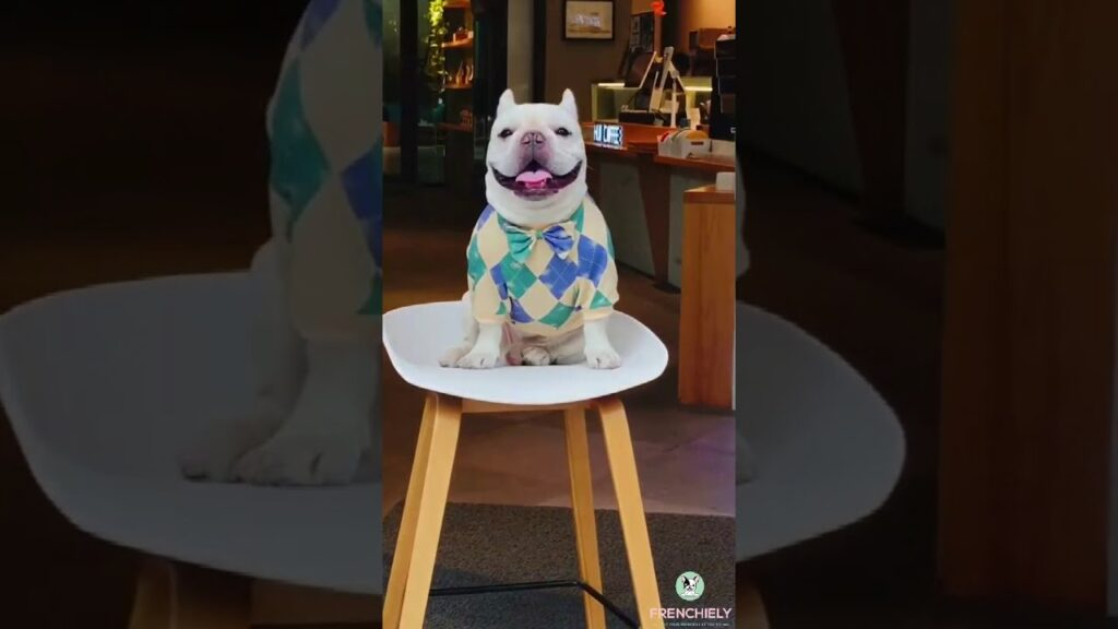 french bulldog sweater with bow tie